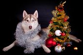 Siberian husky on the black background