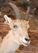 picture of cuckold  - beautiful young IBEX in the rocks of the italian Alps - JPG