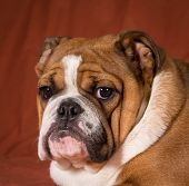 english bulldog puppy portrait