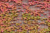 Vines of autumn leaves on brick wall