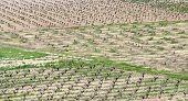 Vineyards, Paphos, Cyprus