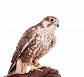 Saker Falcon isolated on white