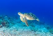 stock photo of green turtle  - Green Sea Turtle on a tropical reef - JPG