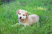 Little cute Golden Retriever puppy, outdoors