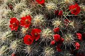 Claret Cup Cactus With Red Blossoms