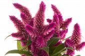 Cockscomb Celosia Spicata Plant