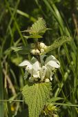 Urtica Dioica, Common Or Stinging Nettle, In Flower, Close Up.