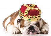 dog wearing crown isolated on white - english bulldog