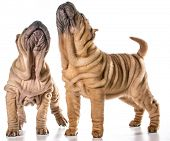 picture of shar-pei puppy  - two chinese shar pei puppies isolated on white background  - JPG