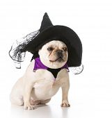 french bulldog wearing witch costume