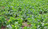 Plantation of sugar beet