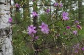 Flowering wild rosemary in the forest