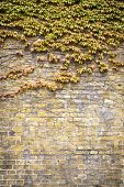 Overgrown  Boston Ivy Brick Wall For Backgrounds