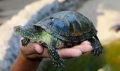 Small Tortoise (turtle) In Hand