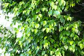 Green leaves on tree, close-up