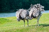 A Pair Of African Ostriches Walking