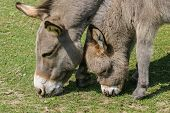 picture of donkey  - Baby or young donkey and its mother in profile grazing together in a field - JPG