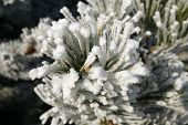 Close Up Of Needles Of Pine Tree With Ice Crystals