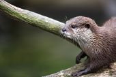 An oriental small-clawed otter / Aonyx cinerea / Asian small-clawed otter