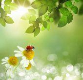 Ladybird on daisy flowers at dawn spring