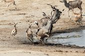 Unsuccessful Attack On Crocodile To Antilops Kudu And Unsuccessful Crocodile Attack On Antilops