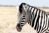 image of nationalism  - Zebra portrait - JPG