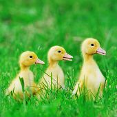 Small Ducklings  on Green Grass