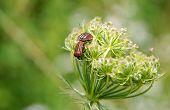 image of mating  - Minstrel Bugs  - JPG