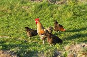 Rooster And Three Hens On A Meadow