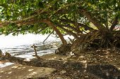 Trees on the beach in Kauai, Hawaii