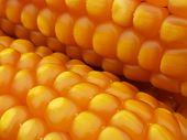 picture of maize  - A macro image of bald maize ears - JPG