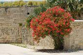 Bougainvillea bush