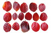 Red Leaf Set