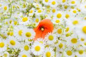 bouquet of small white daisies and one flower bright red poppy in the middle of the bouquet