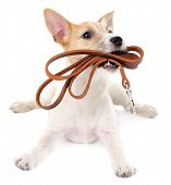 Funny little dog Jack Russell terrier with leather leash, isolated on white