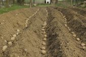 pic of potato-field  - Spring planting potatoes in the village (shallow DOF).
