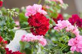 pic of geranium  - geranium flowers - JPG