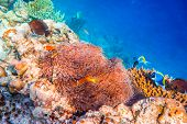 picture of clown fish  - Topical saltwater fish  - JPG
