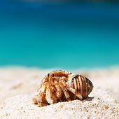 picture of hermit crab  - Hermit crab on beach at Seychelles - JPG