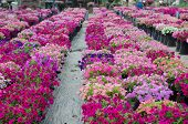 pic of petunia  - Beautiful petunia blooming in garden - JPG