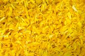 image of marigold  - The yellow flower marigold multi petal background - JPG