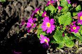 foto of primrose  - Purple primrose flowers in the flower bed - JPG