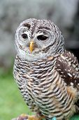 picture of hooters  - A barred owl Strix varia is looking ahead - JPG