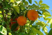 stock photo of orange-tree  - orange tree with fruits and white flowers - JPG