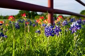 pic of bluebonnets  - Bluebonnets and Indian paintbrushes in late afternoon light - JPG