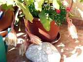 America Cactus First Flower