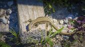 stock photo of sunbather  - Small Lizard Lacerta Agilis sunbathing on the primy sunshine - JPG