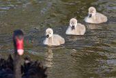 picture of black swan  - Cygnets of black swan swimming in the lake behind their mother - JPG