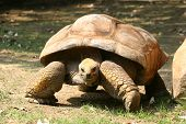 Slow Moving Tortoise