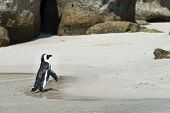 pic of jackass  - Jackass Penguins  - JPG